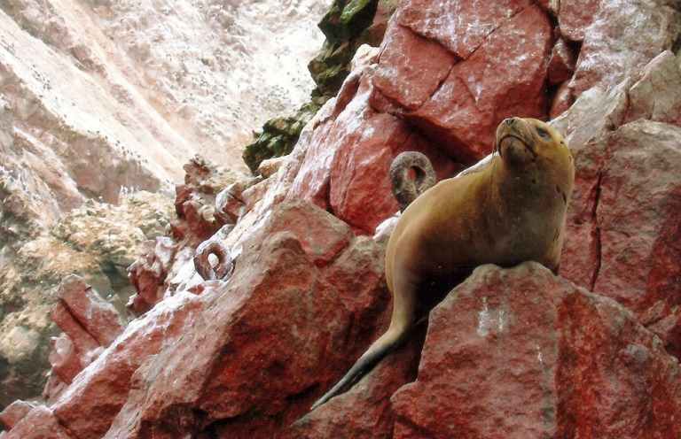 pisco_sealion
